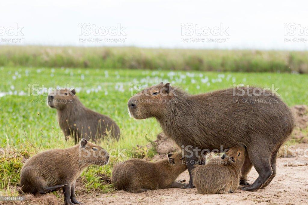 Capybara (Hydrochaeris hydrochaeris) stock photo