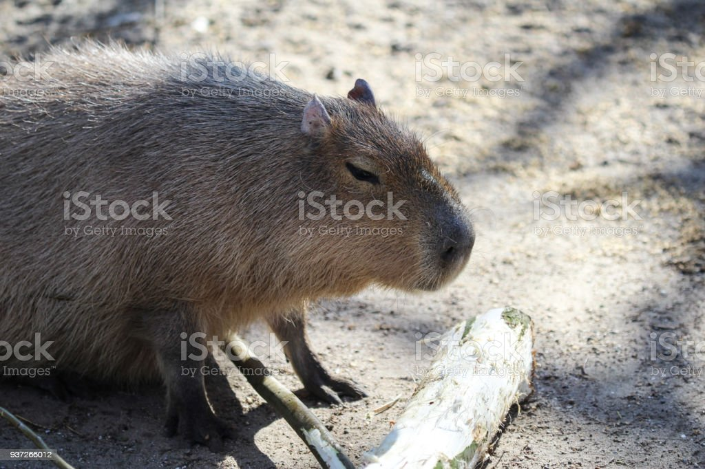 capybara (Hydrochoerus hydrochaeris) stock photo