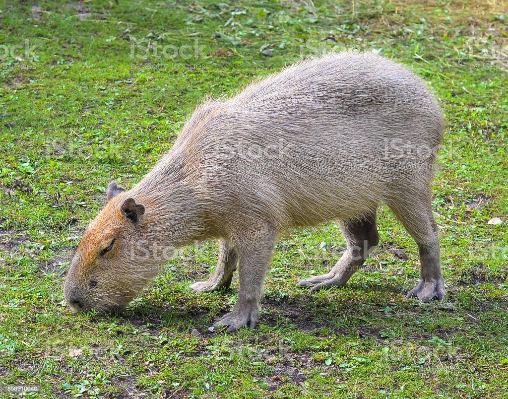 Capybara portret close up stock photo