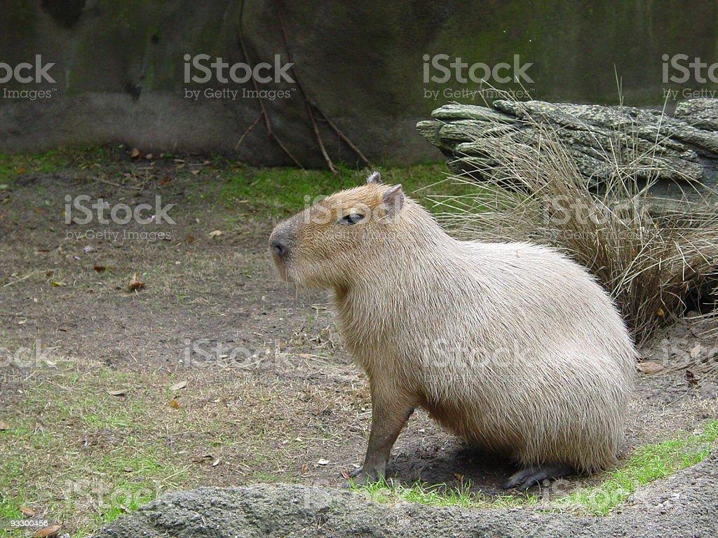 Capybara posing stock photo