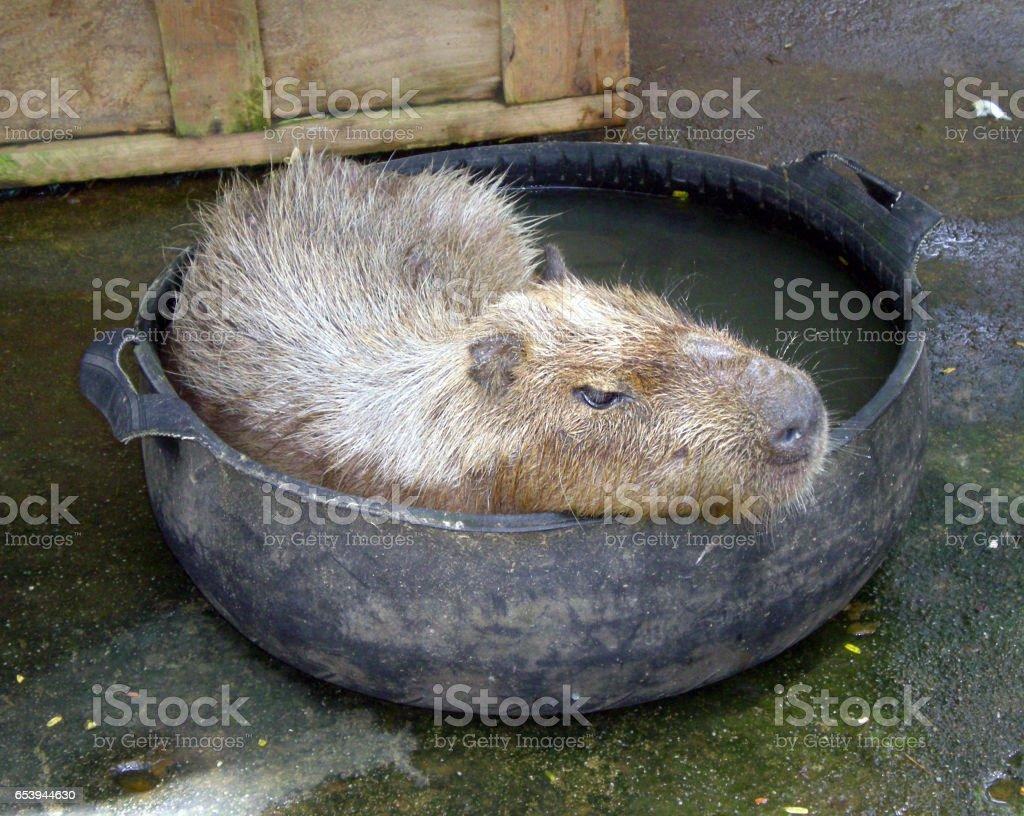 Capybara relaxing in a pool stock photo