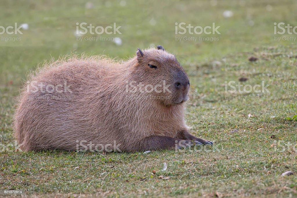 Capybara resting in a clearing photo libre de droits