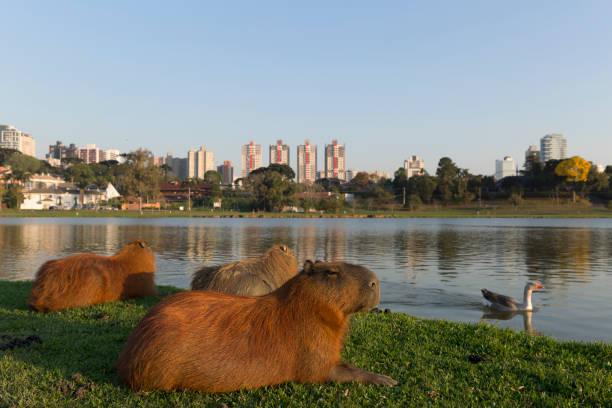 capybara resting. - curitiba stock photos and pictures