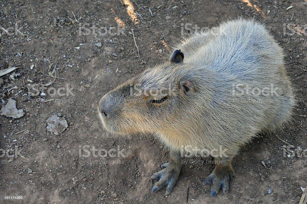 capybara rodent stock photo