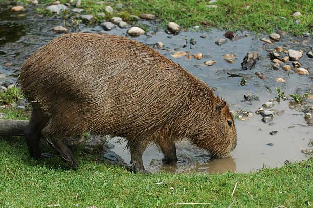 Capybara / Water Pig / Hydrochoerus hydrochaeris stock photo