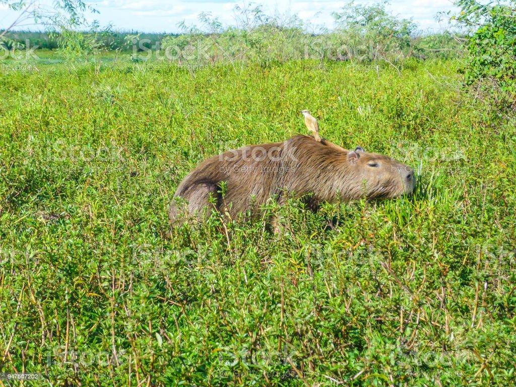 Capybara with a bird on his back - Esteros del Ibera, Argentina stock photo