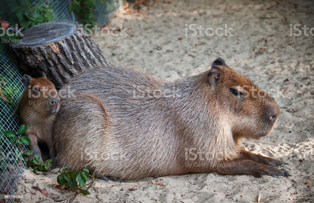 Capybara with baby in the zoo stock photo