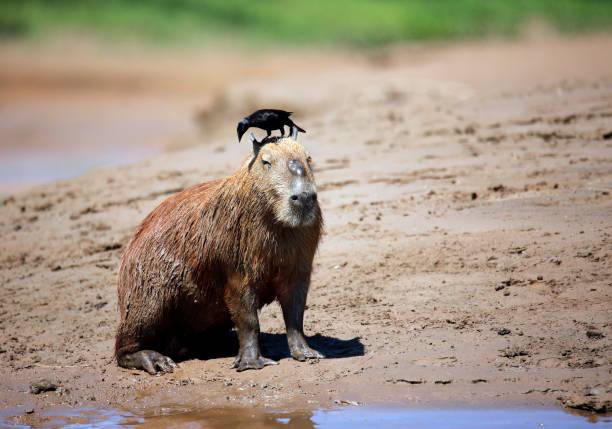 Capybara with Bird stock photo