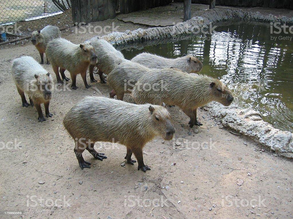 Capybaras stock photo