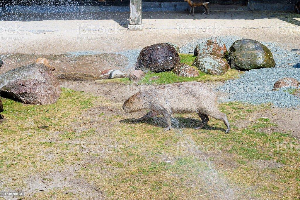 Capybaras refreshing under a sprinkler stock photo