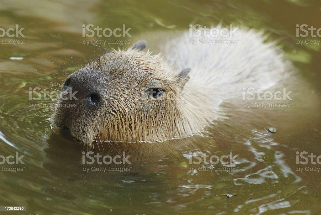 Capybaras swimming stock photo