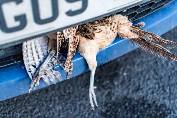 Car Accident Dead Grouse Bird Strike stock photo