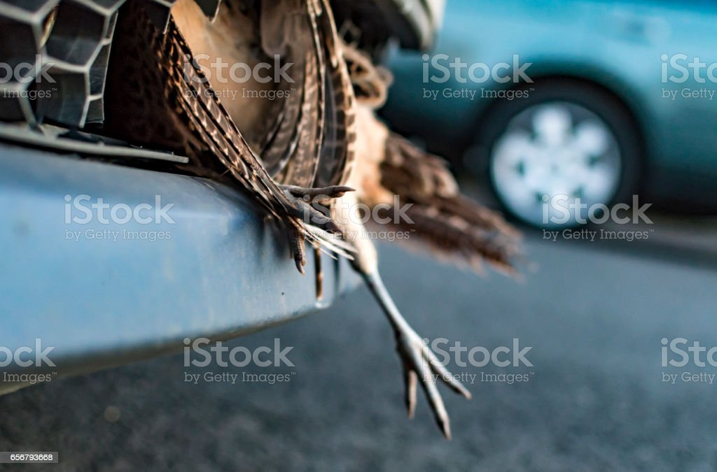 Car Accident Dead Grouse in Bumper stock photo
