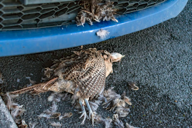 Car Accident Dead Grouse on Road stock photo