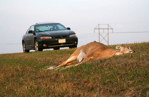 Car Deer Accident stock photo
