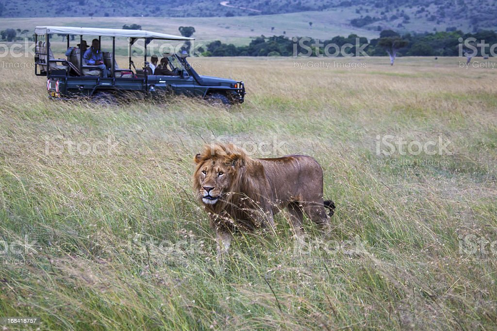 Car with male lion at Masai Mara Park In Kenya stock photo
