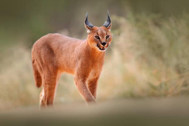 Caracal, African lynx, in dry sand desert. Beautiful wild cat in nature habitat, Kgalagadi, Botswana, South Africa. Animal face to face walking on gravel, Felis caracal. Wildlife scene from nature. stock photo