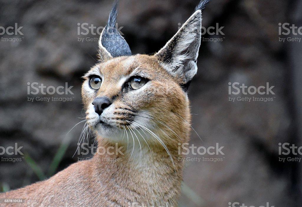 Caracal Cat stock photo