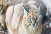 Caracal genus of lynx (Caracal caracal). It is a medium-sized wild cat native to Africa, the Middle East, Central Asia and India. It is territorial, and lives mainly alone or in pairs.