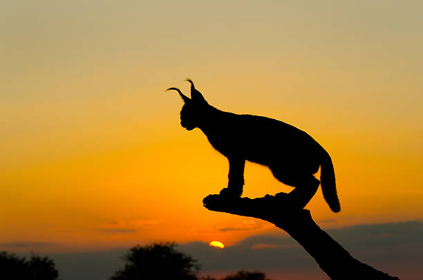 Caracal sunset silhouette south africa picture id173158007?b=1&k=6&m=173158007&s=612x612&w=0&h=omf6cdo1c7dmugcrfr x4hjbqj3fkyure26u lcy 34=