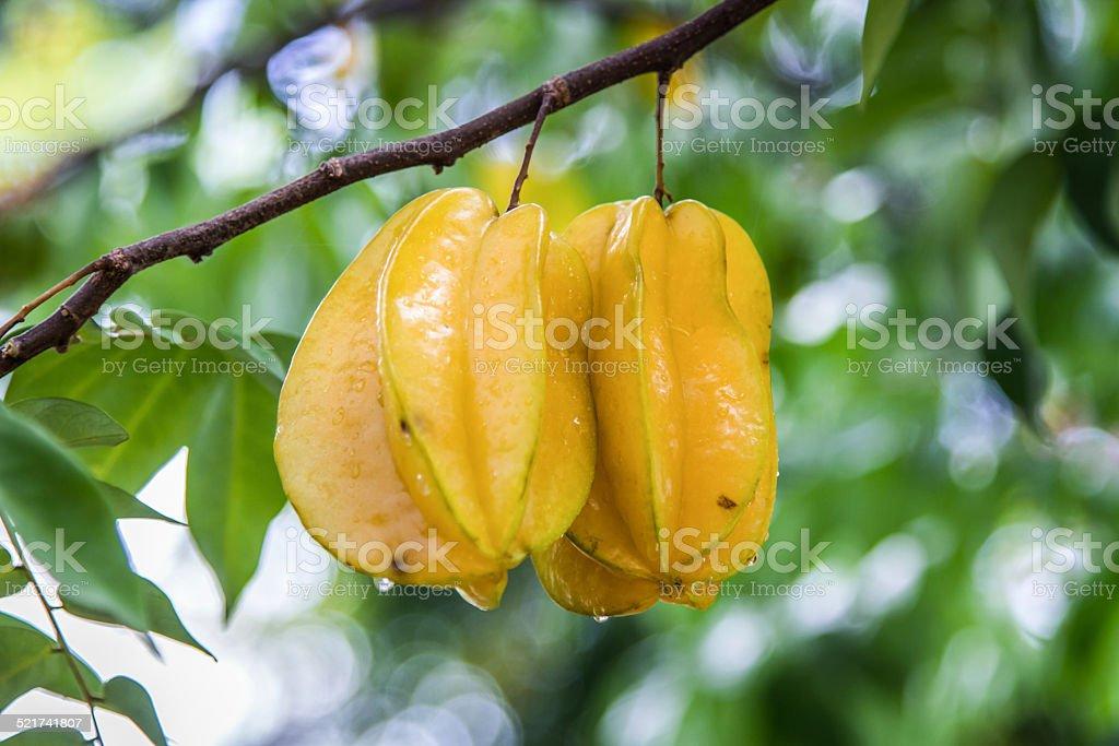 Carambola tree stock photo