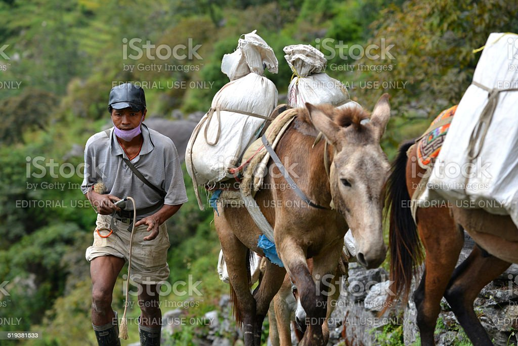 Caravan of donkeys carrying supplies in the Himalayas stock photo