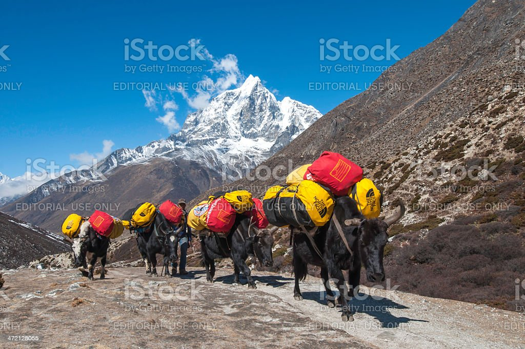 Caravan of yaks an Himalayas stock photo