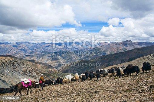 Shey La, Nepal - September 5, 2011: Tibetan nomad with yaks walking across Shey La pass in the Nepal Himalaya.