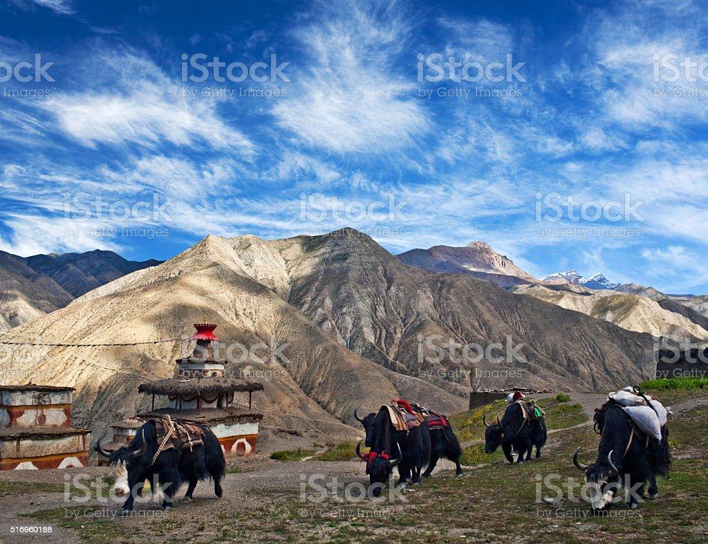 Caravan of yaks in Dolpo, Nepal stock photo