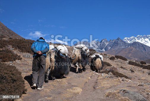 Pangboche, Nepal - January 8, 2017: Shepherd follows the yak caravan on the road to Everest base camp in the Nepal Himalaya