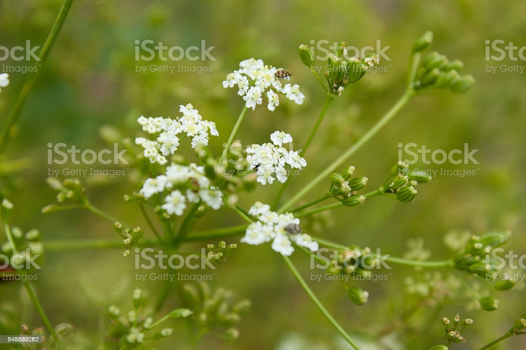 Caraway (Carum carvi). Cumin is one of the oldest spices. stock photo