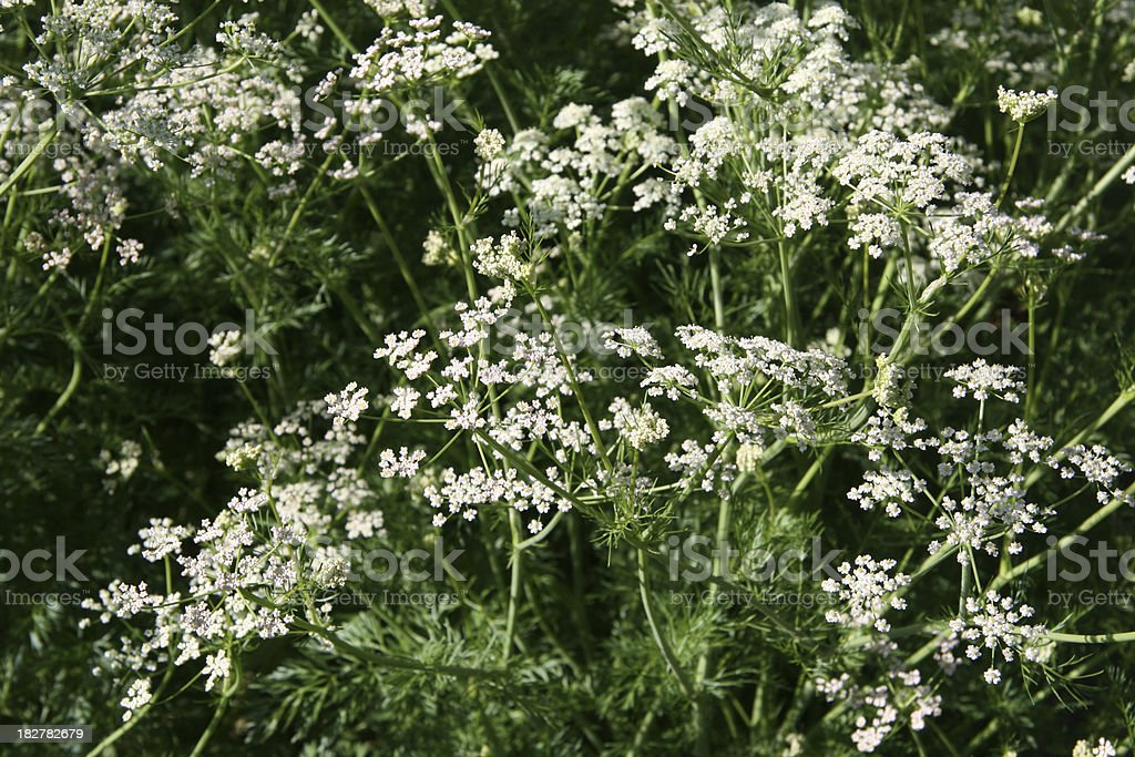caraway flowers stock photo