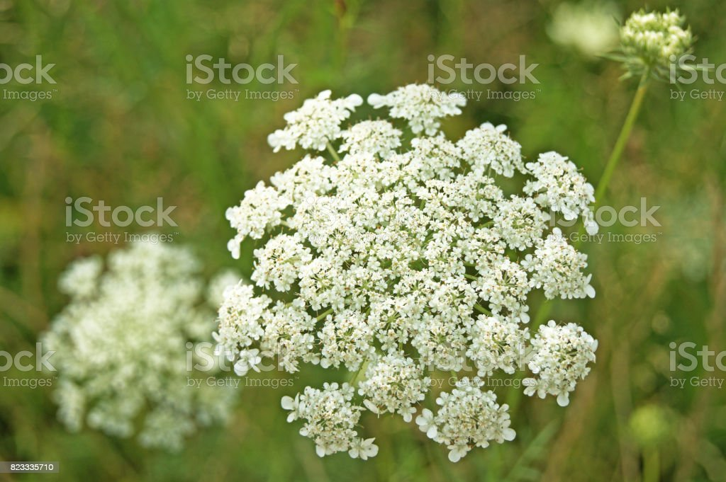 Caraway, meridian fennel, Persian cumin (Carum carvi). Biennial plant in the family Apiaceae. stock photo