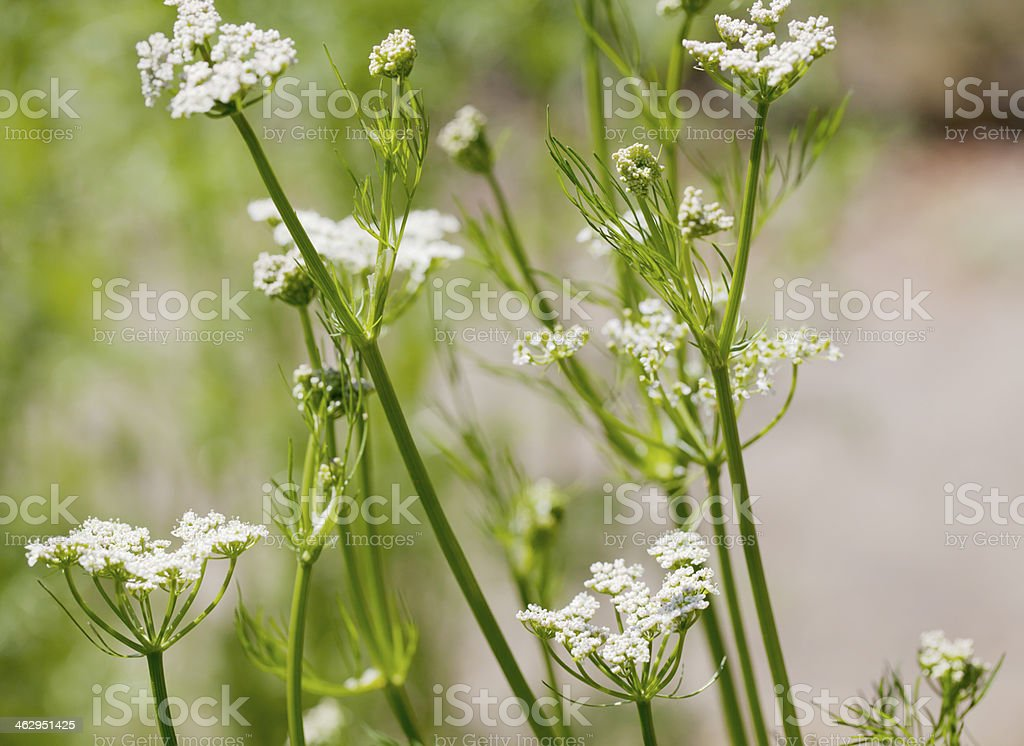 Caraway (Carum carvi) stock photo