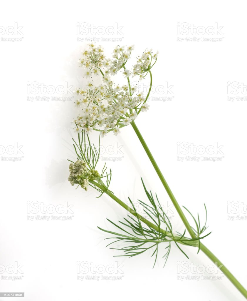 Caraway; True; Carum carvi stock photo