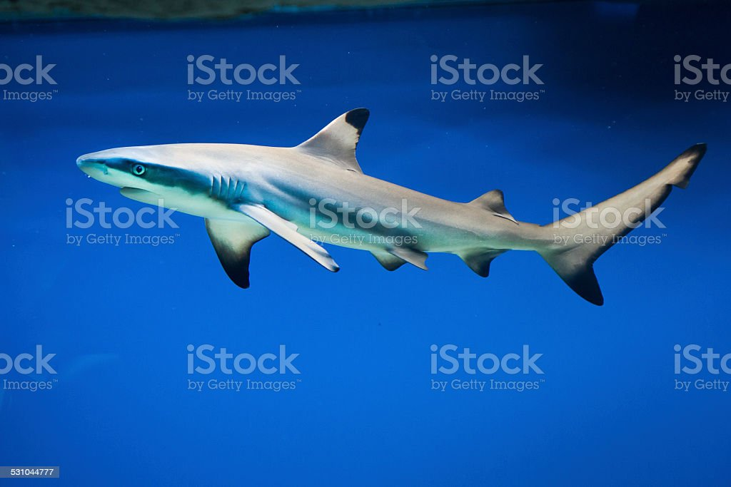 Carcharhinus melanopterus -  blacktip reef shark stock photo