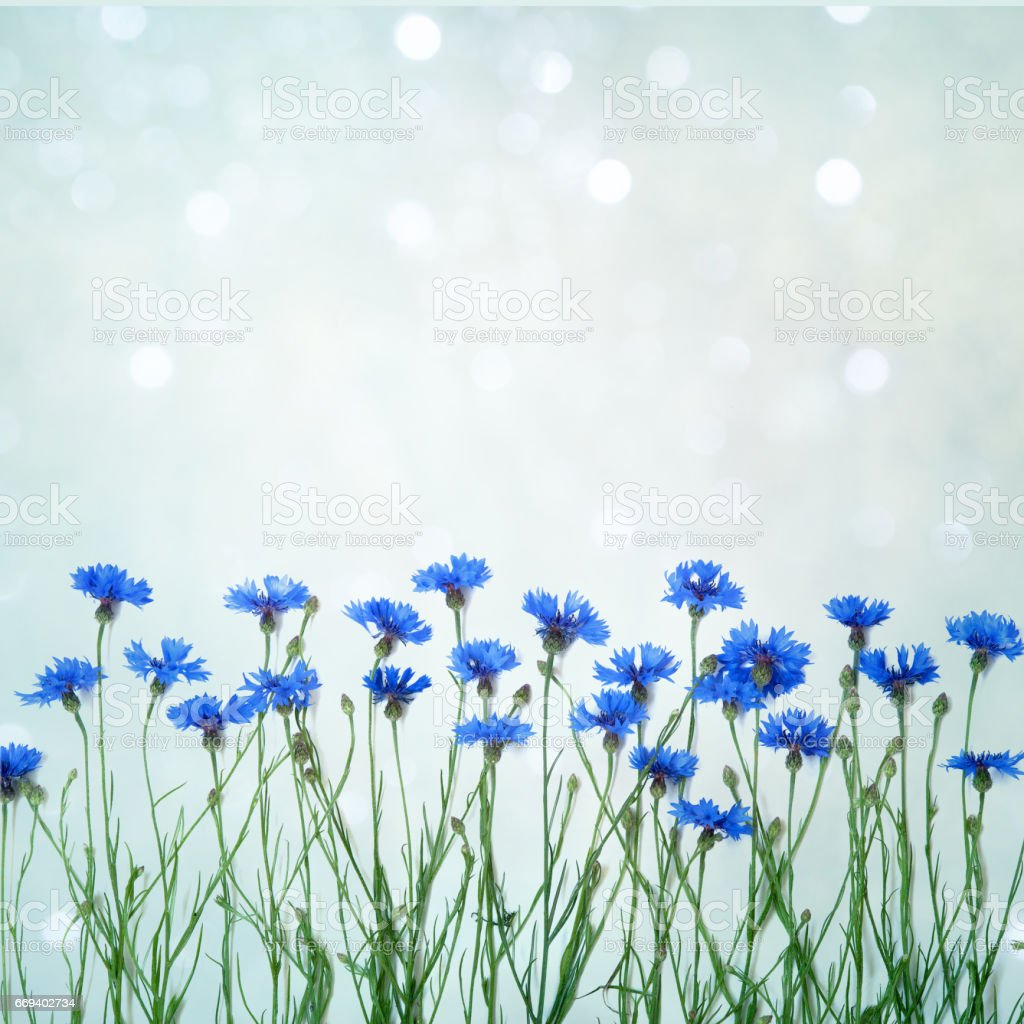 Card for invitation, congratulation with flowers cornflower stock photo