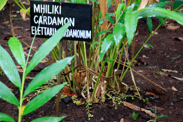 Kardamom-Pflanze bei Tangawizi Spice Farm, Sansibar, Tansania – Foto