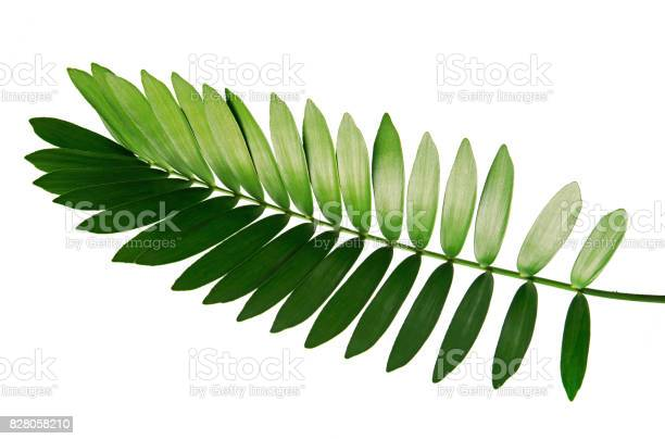 Cardboard palm or zamia furfuracea or mexican cycad leaf isolated on picture id828058210?b=1&k=6&m=828058210&s=612x612&h=hjrwllsyx58lzltnxsqnx 8bmqqlbdq0uzagwosu8n4=