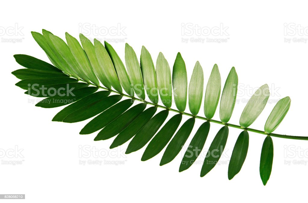 Cardboard palm or Zamia furfuracea or Mexican cycad leaf  isolated on white background, with clipping path stock photo