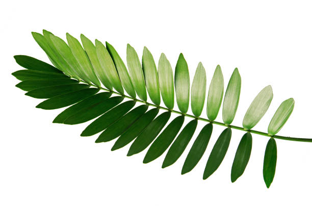 Cardboard palm or Zamia furfuracea or Mexican cycad leaf  isolated on white background, with clipping path Cardboard palm or Zamia furfuracea or Mexican cycad leaf  isolated on white background branch plant part stock pictures, royalty-free photos & images