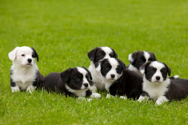 cardigan welsh corgi zwerfvuil van pups. - jong dier stockfoto's en -beelden