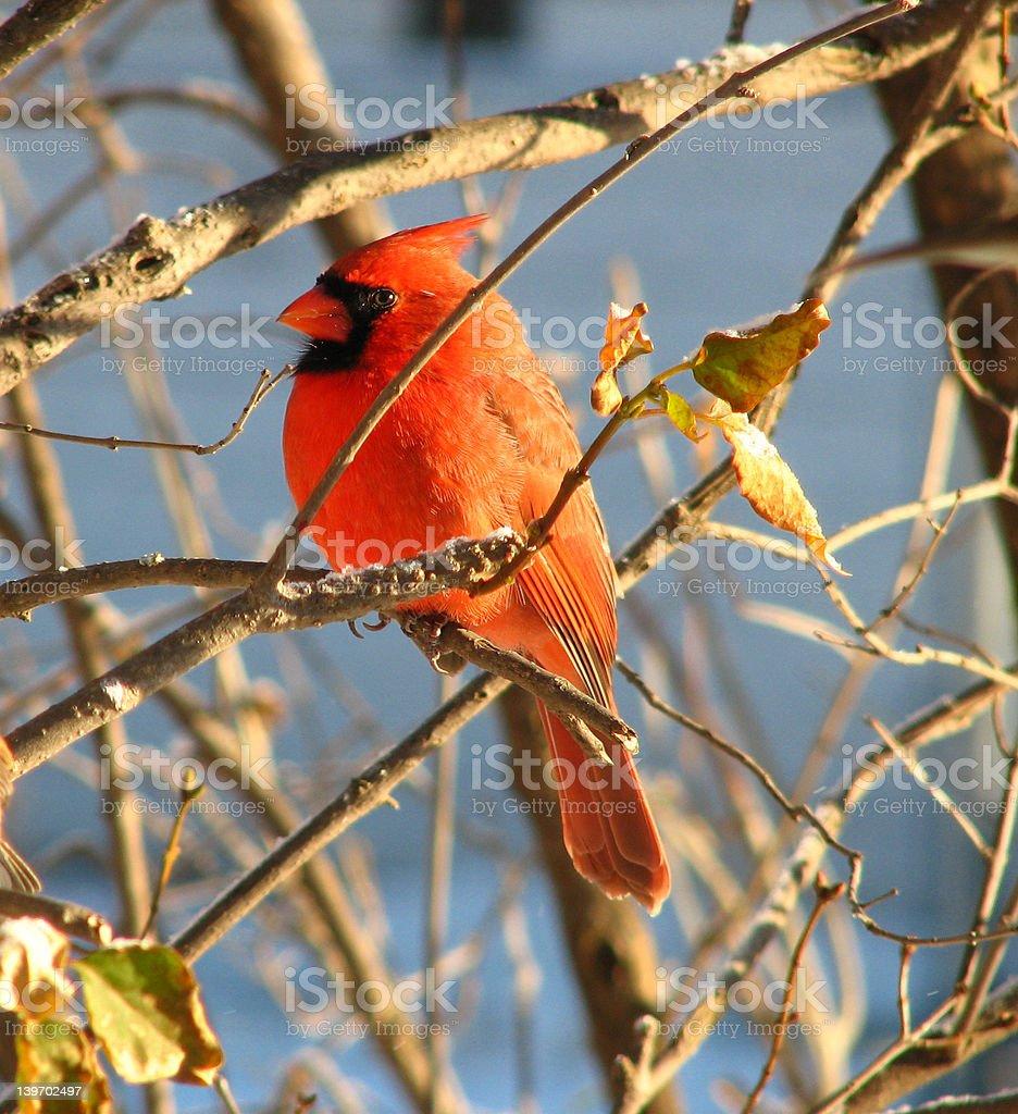Cardinal - 4 royalty-free stock photo