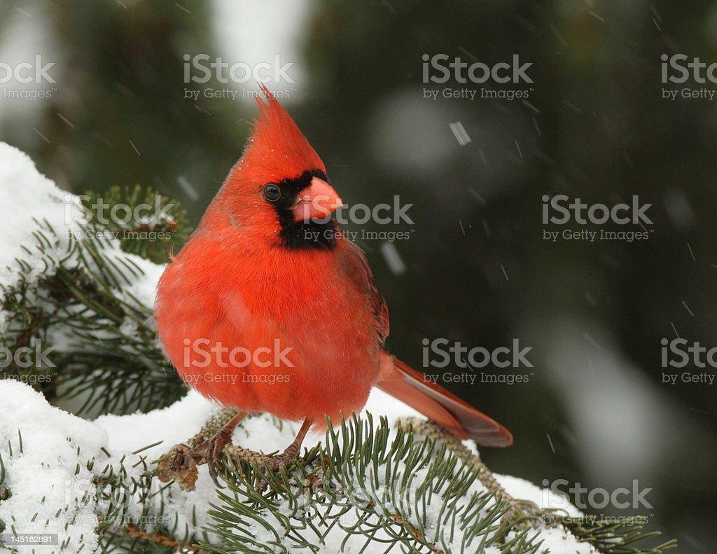 Cardinal 4 royalty-free stock photo