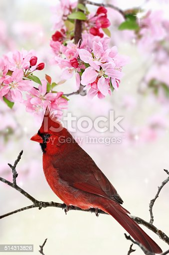 Beautiful red Cardinal sitting amid spring pink tree blossoms.