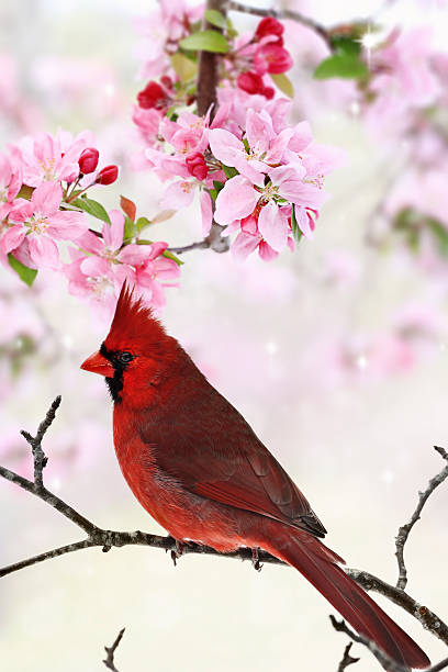 Cardinal Amid Spring Tree Blossoms Beautiful red Cardinal sitting amid spring pink tree blossoms. amid stock pictures, royalty-free photos & images
