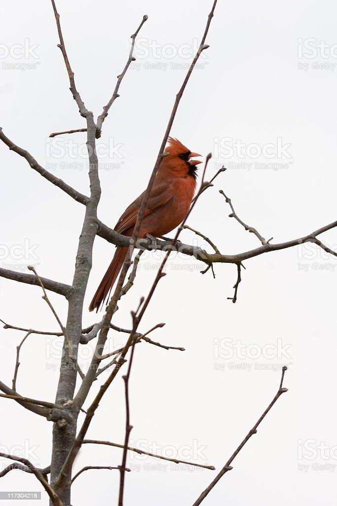 Cardinal bird in winter foto