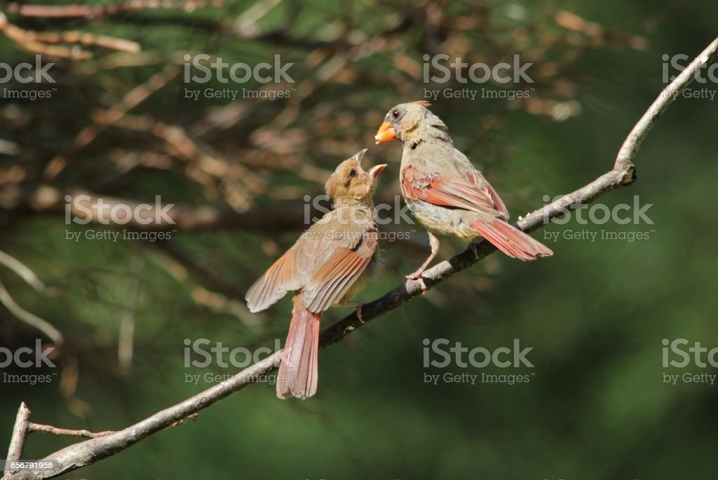 An adult Cardinal female feeds its large chick, as seen in Saint...