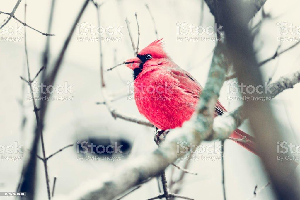 Cardinal dans la neige, mâle - Photo