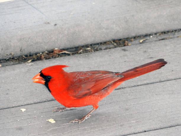 Cardinal Eating stock photo